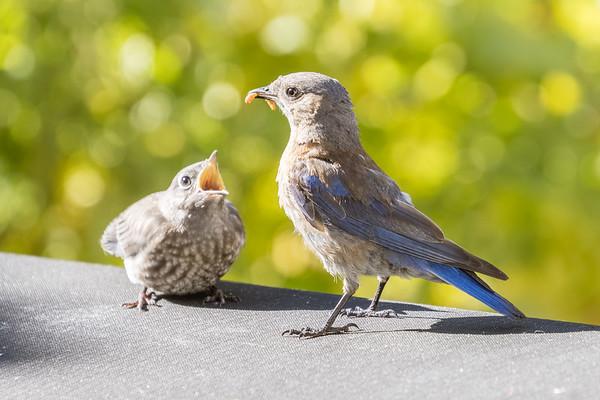 Breakfast for baby bluebird