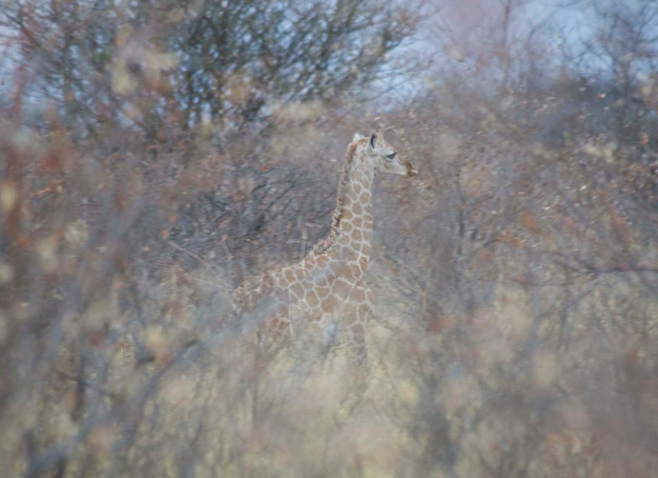 Waterburg Baby Girafe (about two weeks old)