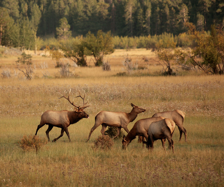 Elk in Moraine Park