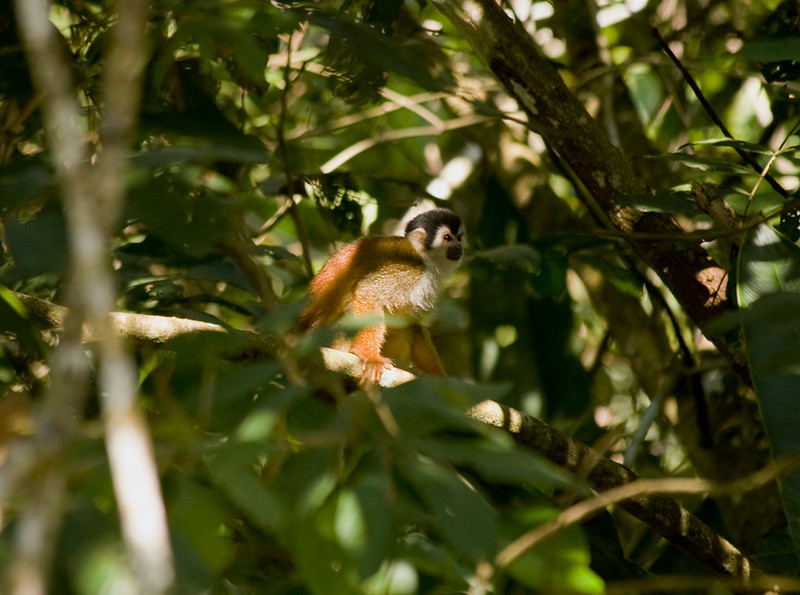 Red-backed Squirrel Monkey, Sierpe River