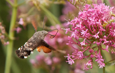 Hummingbird hawk moth near hermit cave dwellings above Montserrat, Spain. At a shutter speed of 2000, the wings are still a blur!