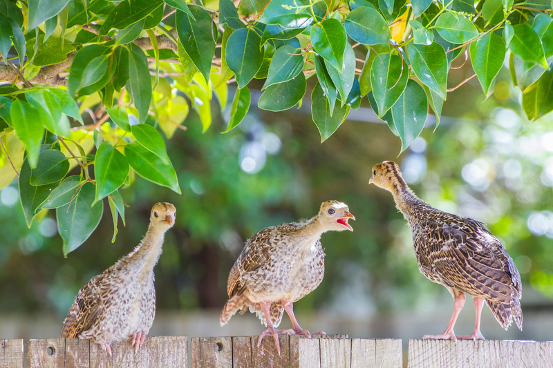 Poults on the fence