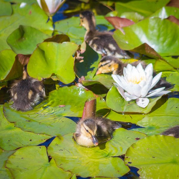Duckling on a lily pad