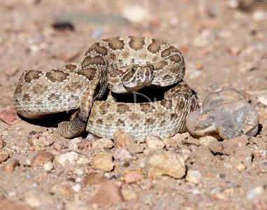 Rattlesnake-2