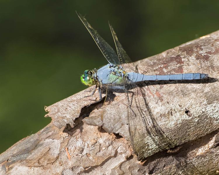 Dragonfly<br /> Location: Circle B Bar Reserve, Lakeland FL