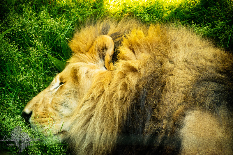 Shaka The Lion Napping