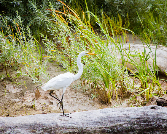 Great Egret walkin