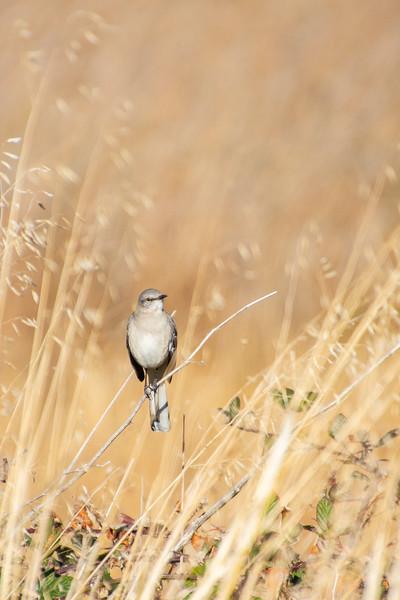 Sunday Mockingbird