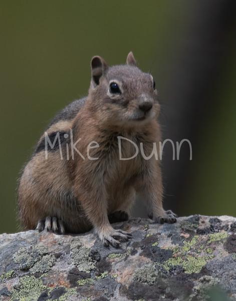 Golden-Mantled Ground Squirrel-2