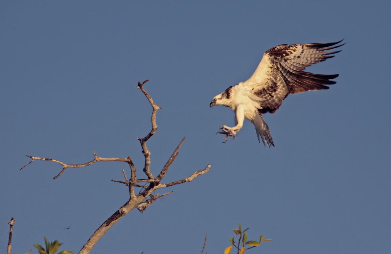 Sian Ka'an, Aguila Pescadora (Osprey)
