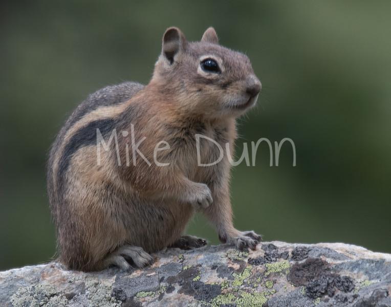 Golden-Mantled Ground Squirrel-1
