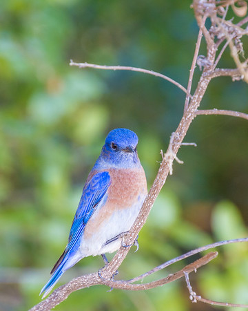 Bluebird portrait