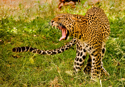 It was only a yawn, not a roar! Leopard near Nairobi, Kenya.