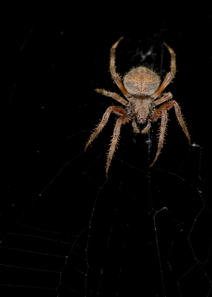 Cross spider at night