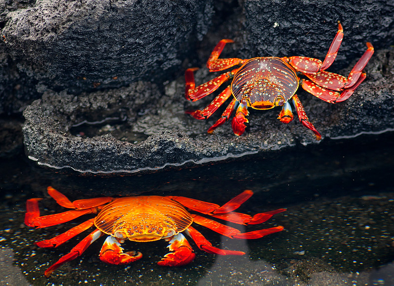 Sally-Go-Lightly Crabs