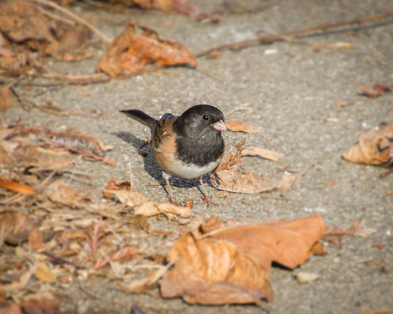 Dark-eyed Junco side-eye