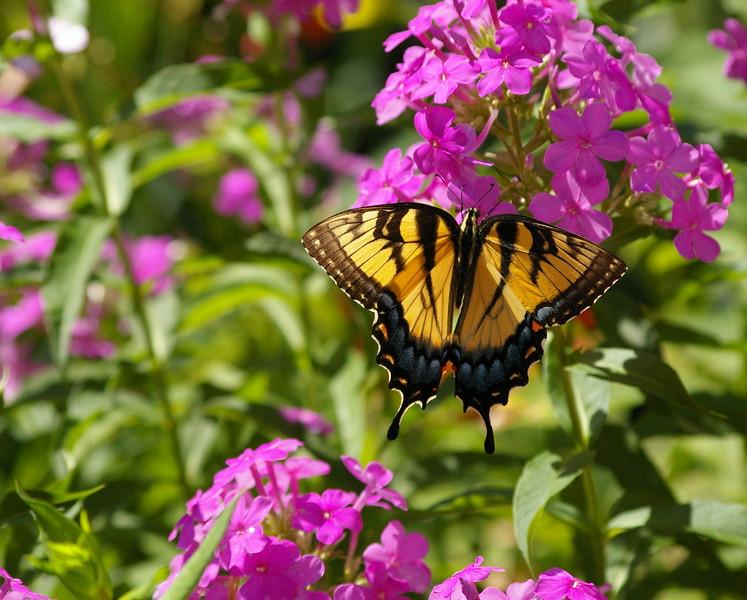 Female Eastern Tiger Swallowtail