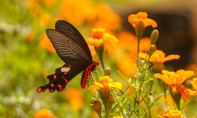 Swallowtail butterfly, Punakha Valley, Bhutan.