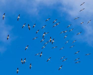 Brown Pelican Flock Florida  Everglades Near Naples