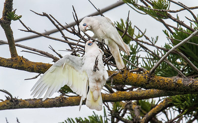 Cockatoos having a squabble, Barossa Valley, South Australia.