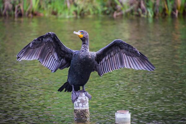 Resting Cormorant