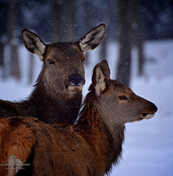 Deer In Snowfall