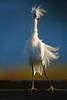 Snowy Egret, Malibu