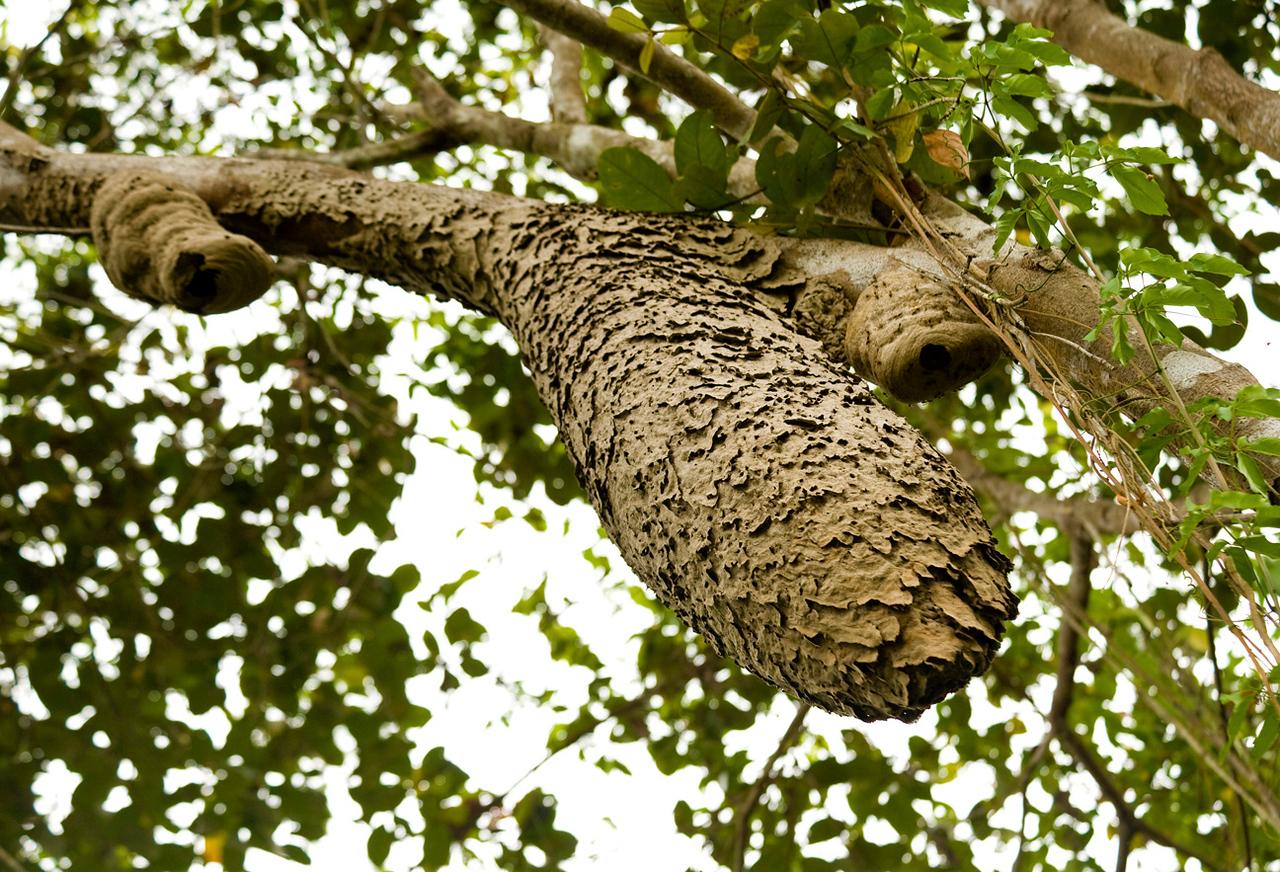 Ant's nest, Uvita, February 2010