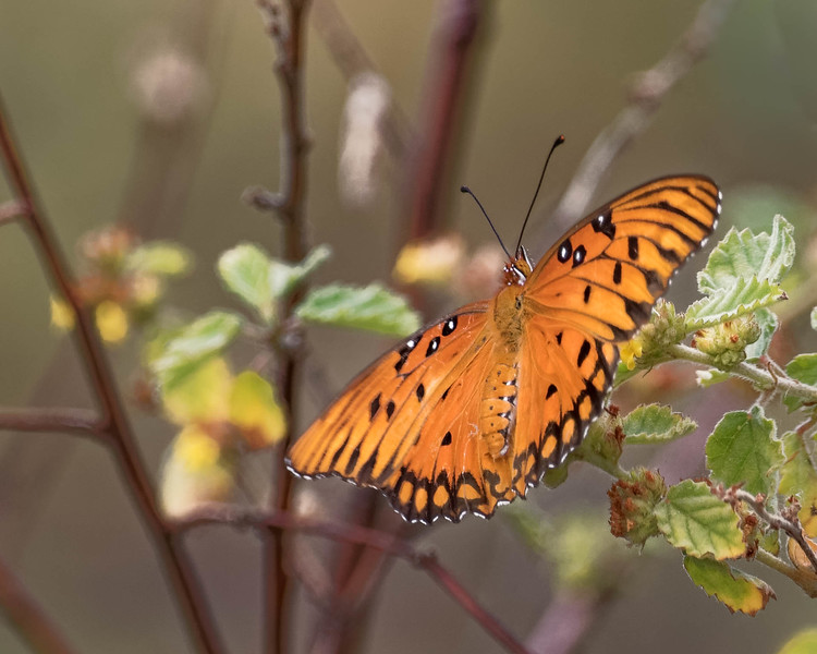 Butterfly<br /> Location:  Pinellas county, FL