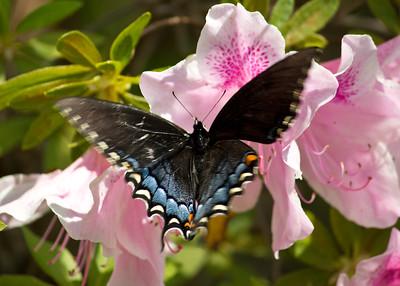 Butterfly on pink azalea