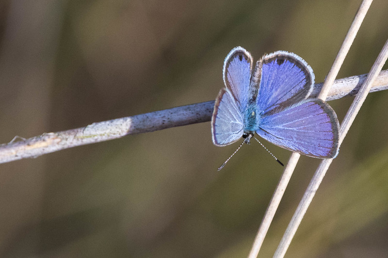 Ceranus Blue Butterfly<br /> Location: Celery Fields, Sarasota County, FL