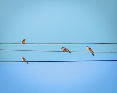 Three Blue Birds and a Sparrow