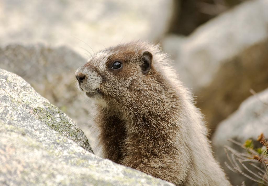 Hoary Marmot on Maple Loop, Okanogan National Forest