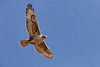 Hawk, Wildlife Preserve, San Joaquin Valley, California