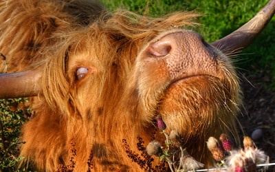 Scottish highland cow making faces near Inverness.