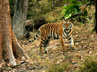Bengal tiger, Bandhavgarh National Park, Madhya Pradesh, India.
