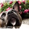 Zenobia Zee - American Pitbull Terrier