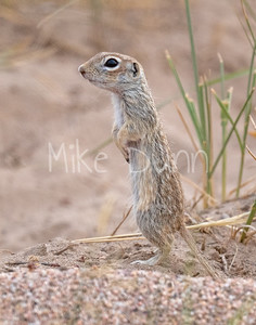 Spotted Ground Squirrel-3