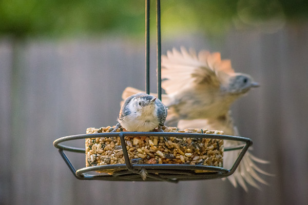 Nuthatch and an escaping Titmouse