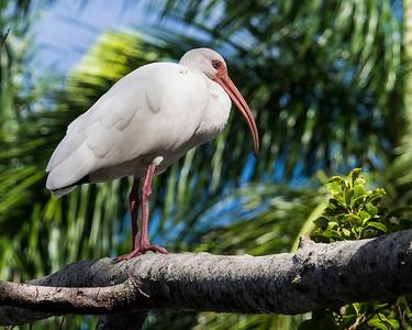 White Ibis Naples Florida