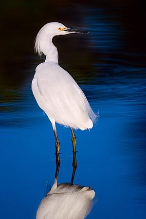 Egret, Malibu lagoon.