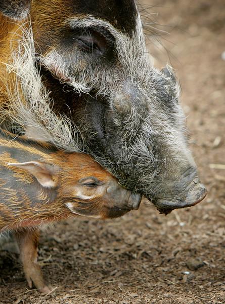 Swine Luv