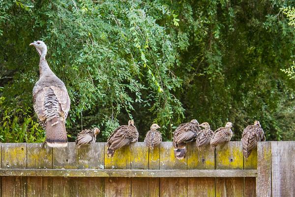 The backyard flock