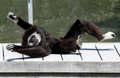 Gibbon Clowning Around Santa Barbara Zoo