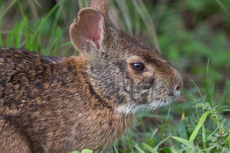 Marsh Rabbit<br /> Location: Celery Fields, Sarasota county , FL