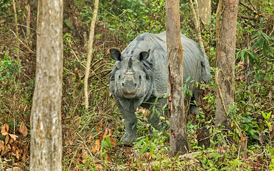 One-horned rhino, Kaziranga National Park, Assam, India. Only some 3600 Asian one-horned rhinos still exist, about 2/3 of which are in Kaziranga.