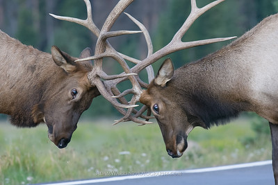 Elk Fight 5