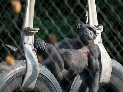 Chimp LA Zoo