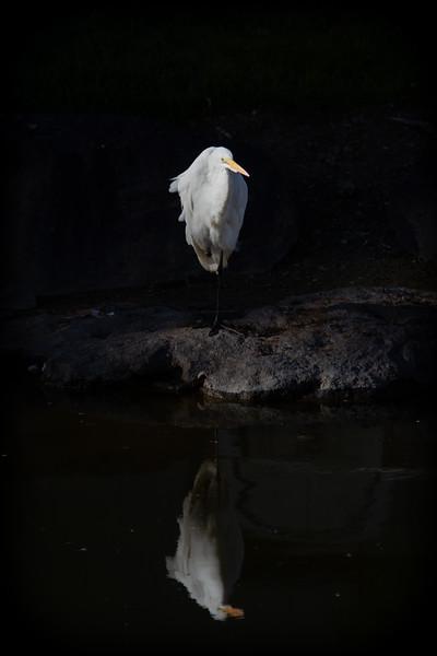 Great Egret reflecting