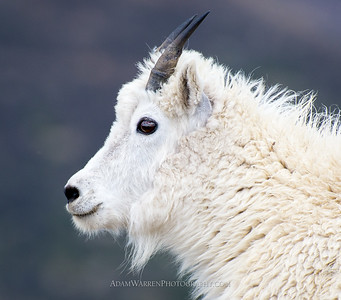 Red Cone Mountain Goat